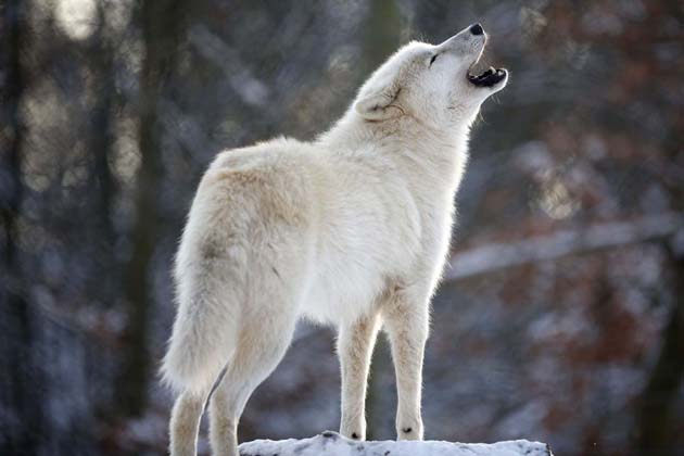 An Arctic wolf howls in enclosure