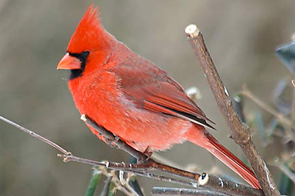 Cardinals, in the family Cardinalidae
