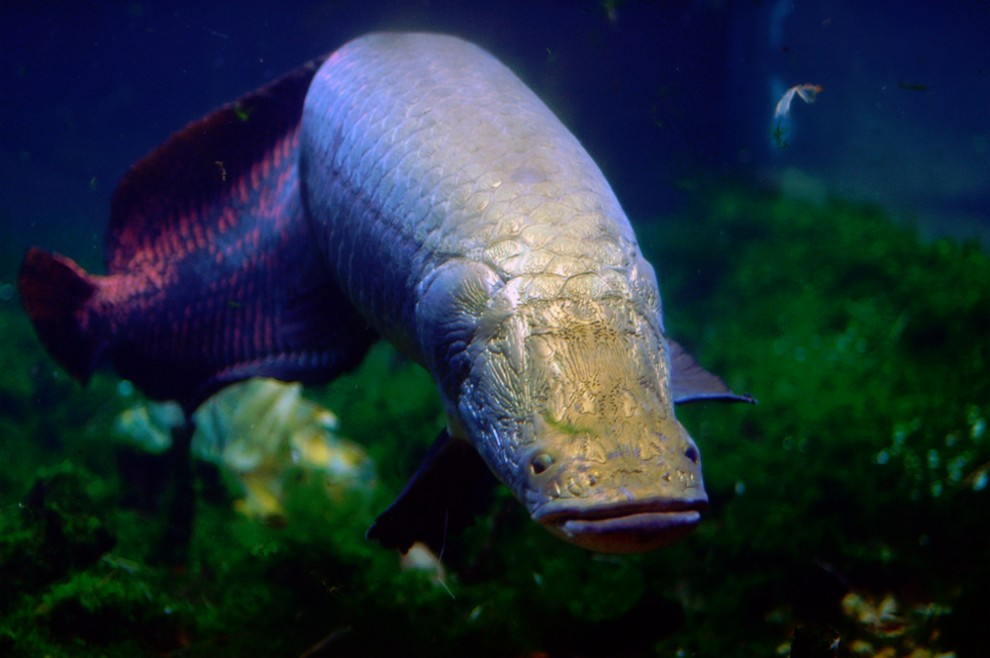 coulours Arapaima