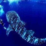 الحوت الازرق الحيوان العملاق عالميا - 207605