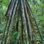 شجرة تستطيع المشي .. ( Socratea exorrhiza)