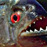 ما هو السمك الضاري المفترس