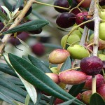 قصة شجرة الزيتون في بلاد المغرب العربي