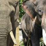 African Elephant and Indian Elephant - 224056