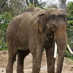 Asian Elephant sometimes called the Indian Elephant - 224059