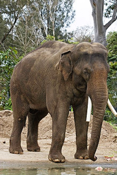Asian Elephant sometimes called the Indian Elephant