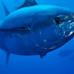 Atlantic Bluefin Tuna photo - 212495