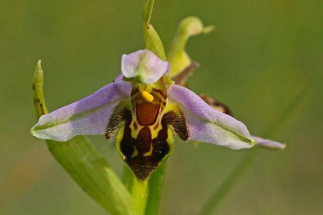 زهرة النحلة
