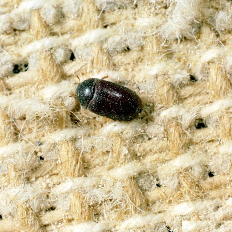حشرة الخنفساء السوداء في ولاية بنسلفانيا