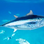 New model studies Atlantic bluefin tuna populations - 212498