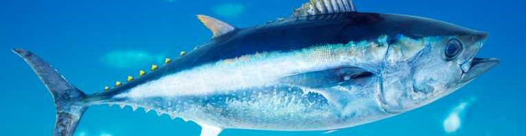 تونة الزعانف الزرقاء New-model-studies-Atlantic-bluefin-tuna-populations-765x198