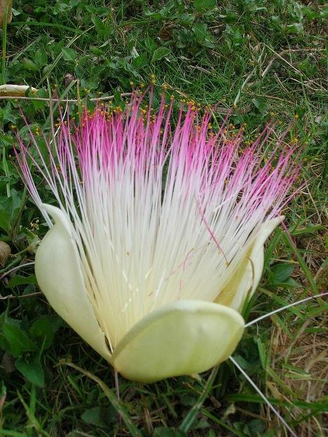 زهرة شجرة بحر السموم