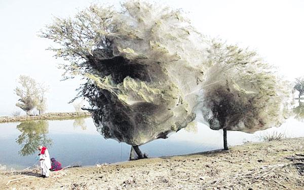 أشجار شبكة العنكبوت