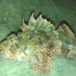 The Stonefish has potent neurotoxins secreted - 218193