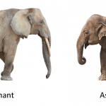 The different between African Elephant and Indian Elephant - 224064
