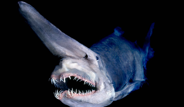 The goblin shark uses a sense system