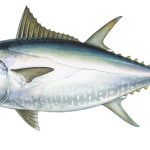 Tuna, bluefin - 212506