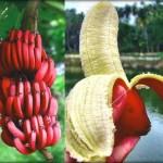 فوائد الموز الاحمر (فاكهة نادرة جدا )