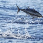 photo of Atlantic Bluefin Tuna - 212501
