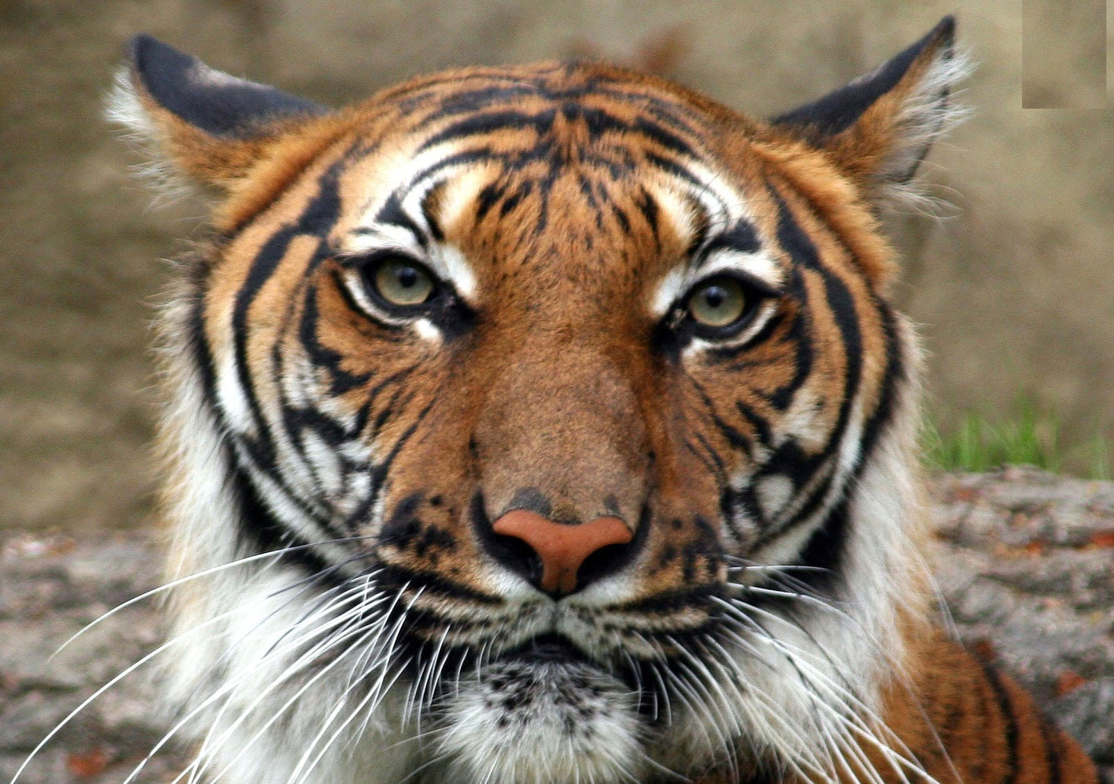 The Indochinese Tiger is found in areas of Vietnam