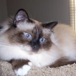 Birman in the United States - 231346