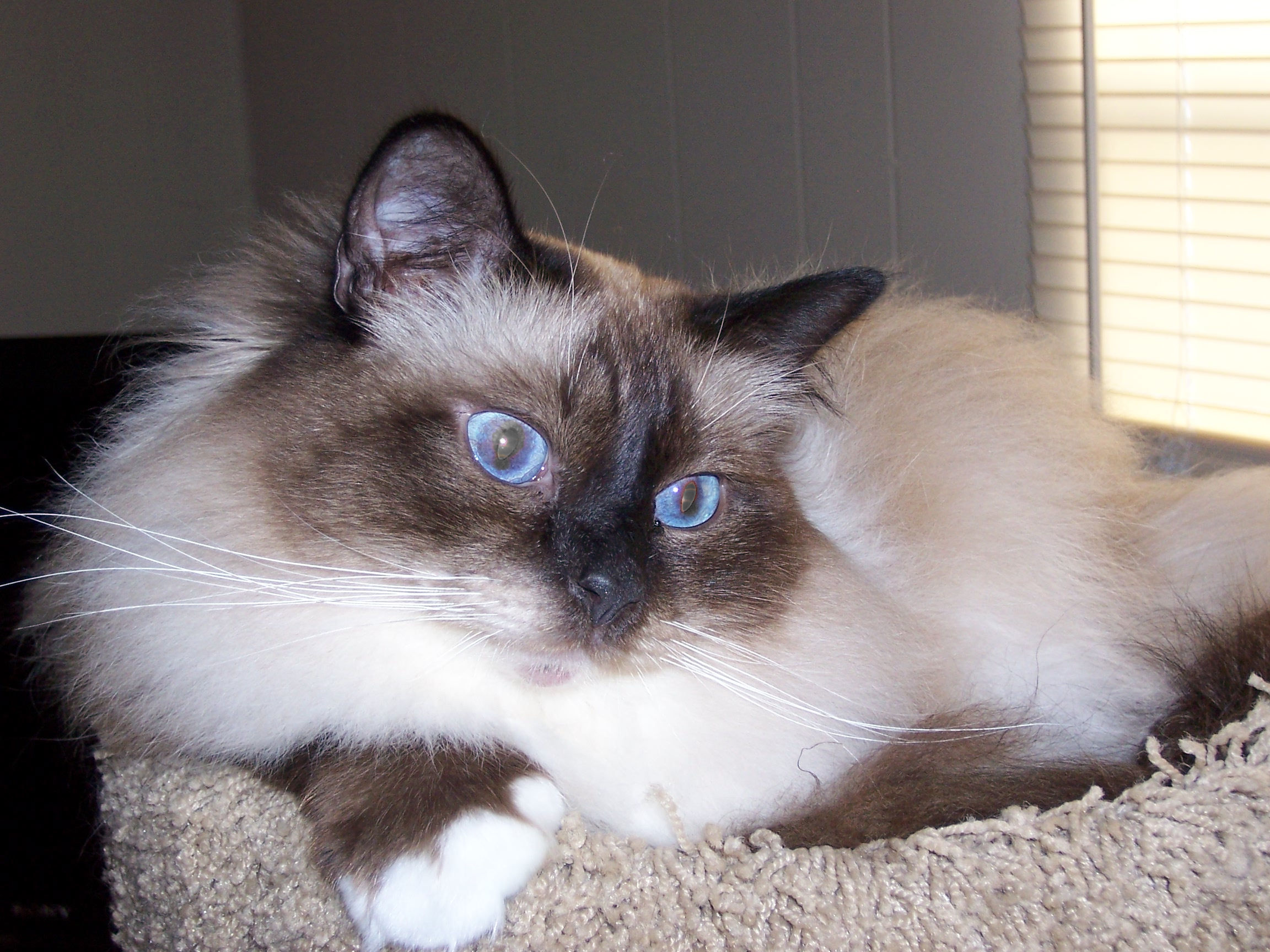 Birman in the United States