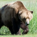 The brown bear currently occurs - 229393