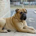 معلومات عن كلاب بول ماستيف