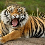 معلومات عن النمر البنغالي الملكي