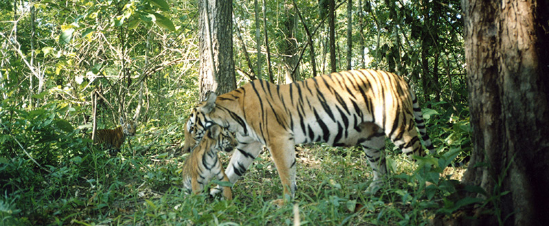 Indochinese Tiger in Thailand