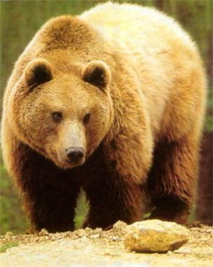 Older Brown bear