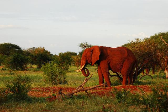 الفيل الأحمر في كينيا Red-Elephant-Drinkin