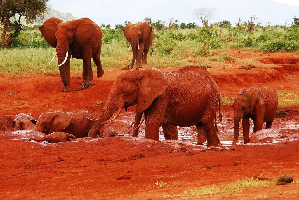 الفيل الأحمر في كينيا Red-Elephant-Safari-