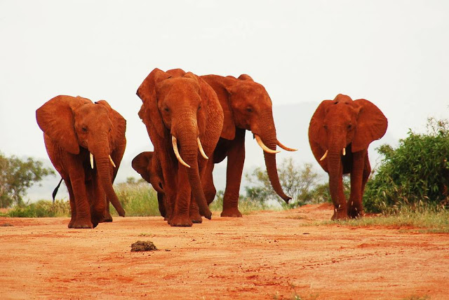 الفيل الأحمر في كينيا Red-Elephant-an-elep