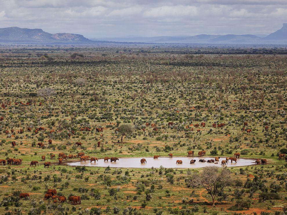 الفيل الأحمر في كينيا Red-Elephant.jpg