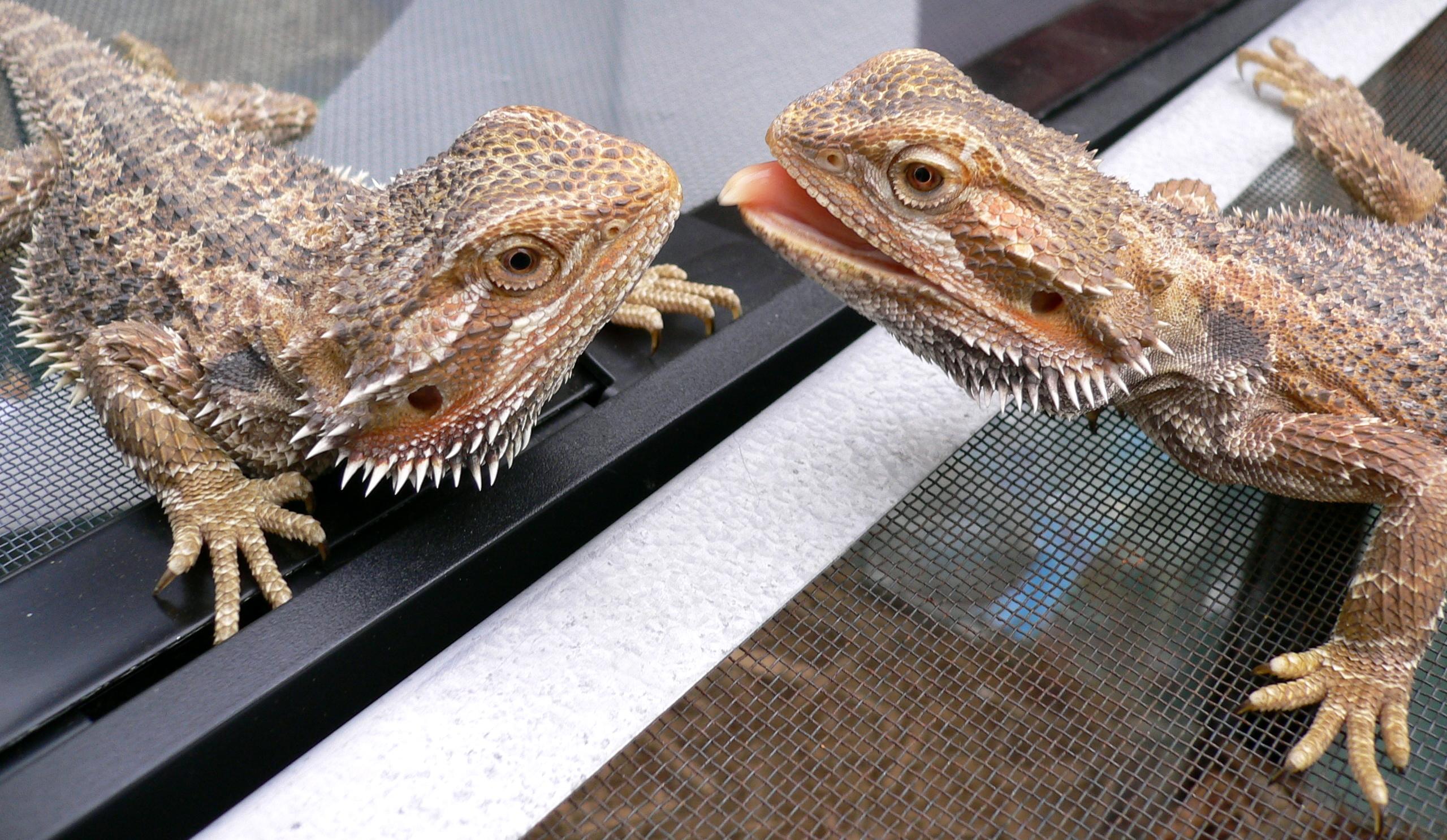 bearded lizard life span - 1024×594
