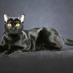 معلومات عن القط بومباي