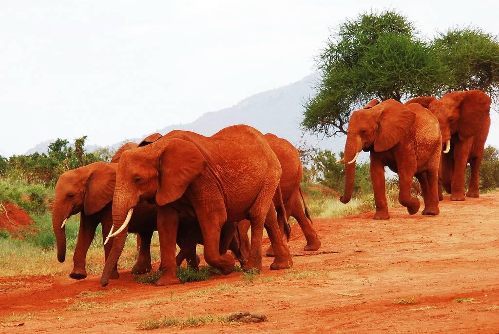 الفيل الأحمر في كينيا The-Earthwatch-Insti