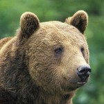 The population of brown bears - 229401