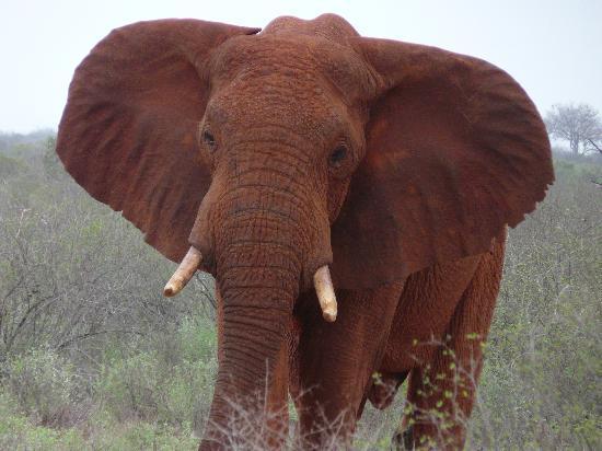 الفيل الأحمر في كينيا an-elephant-should-b