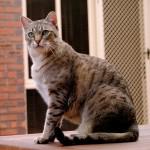 معلومات عن قط ميست الاسترالي
