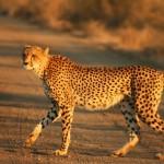 معلومات عن النمر الصياد ... الفهد الصياد