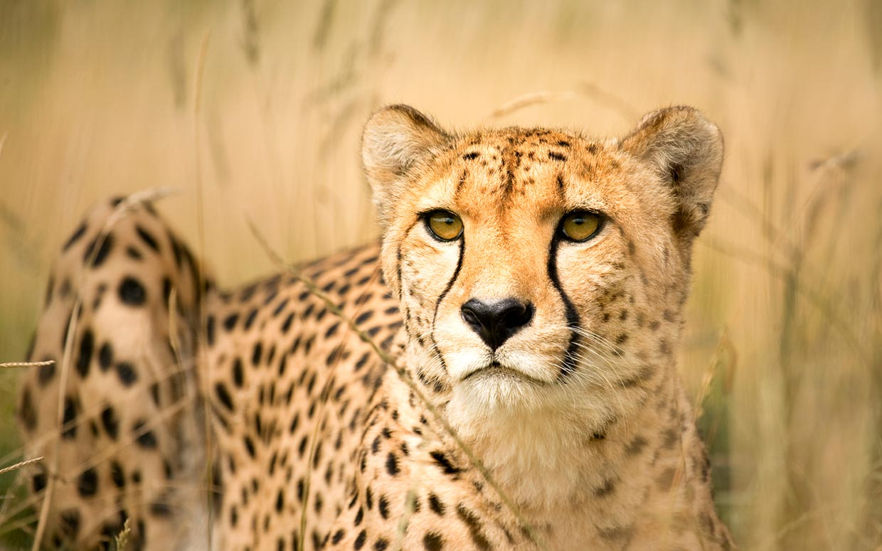 Cheetahs are the only big cat
