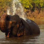 Indian Elephant playing in River - 234659