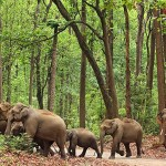 Indian Elephant groups - 234658