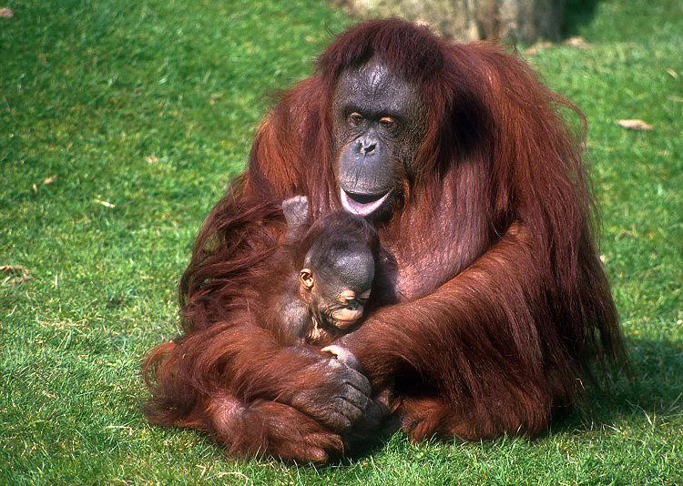 Orangutans are among the most intelligent primates