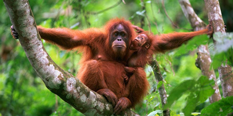 Sumatran orang utan mother and baby