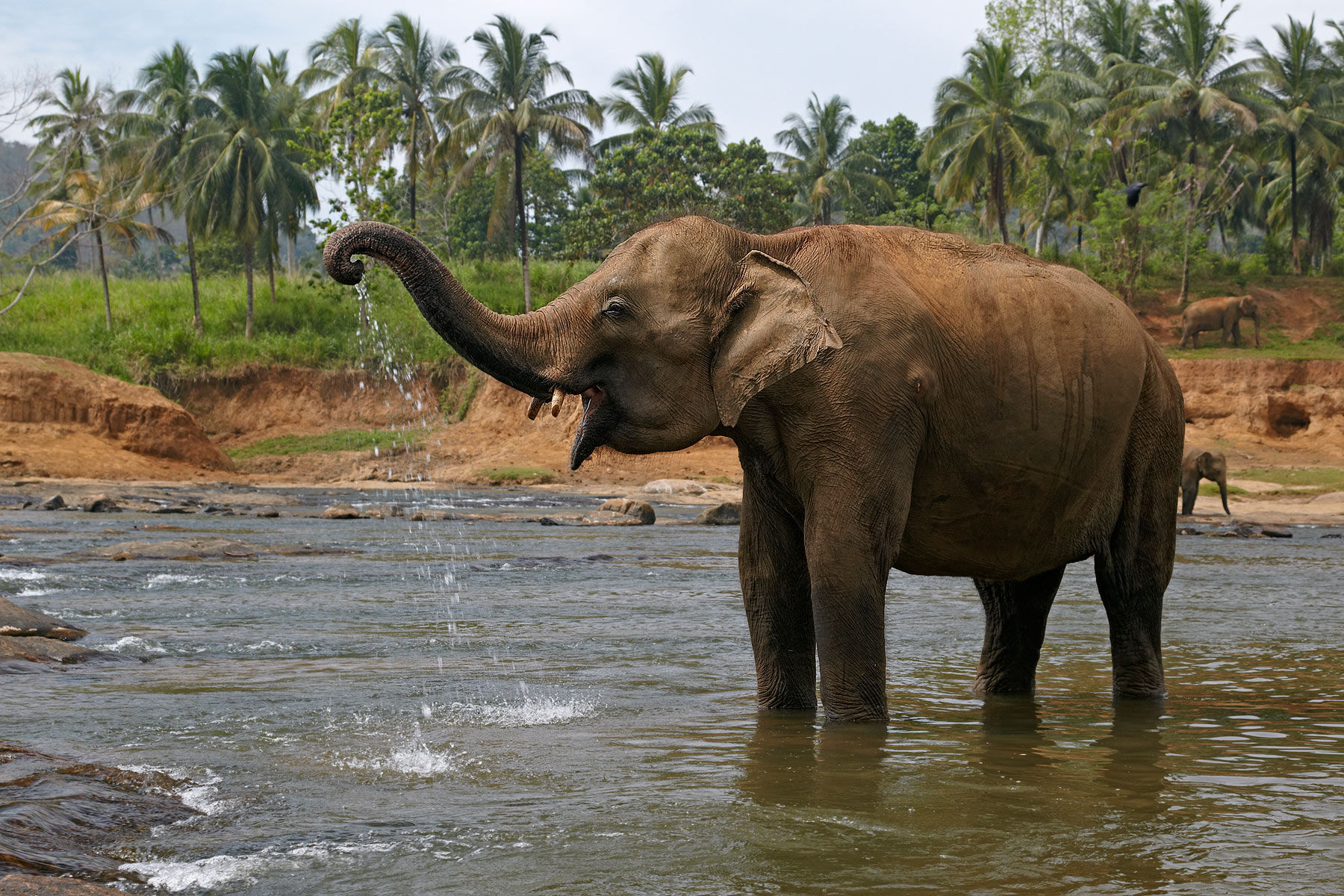 Photo of Indian elephants in Sri Lanka أروع صور الفيل    Finest images of the elephant