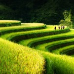 Rice Field Terrace – Northern Vietnam - 240721