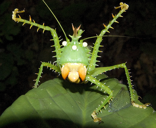 Spike headed Katydid